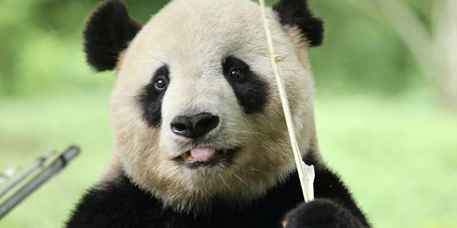 电影《我从中国来之熊猫泰山》北京发布会