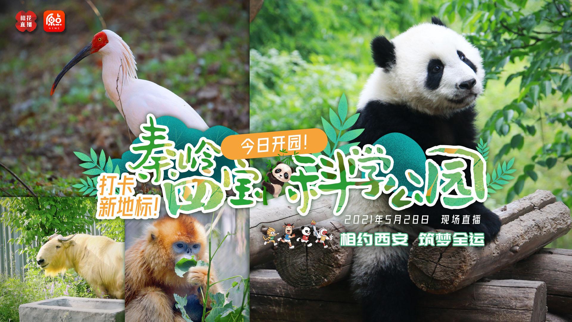 秦岭四宝科学公园开园 全球唯一圈养棕色大熊猫将亮…